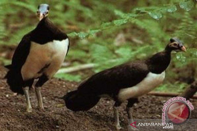 Menyelamatkan Burung Maleo dari kepunahan