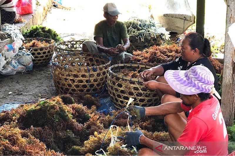 Ratusan warga di Nusa Lembongan beralih jadi pembudidaya rumput laut