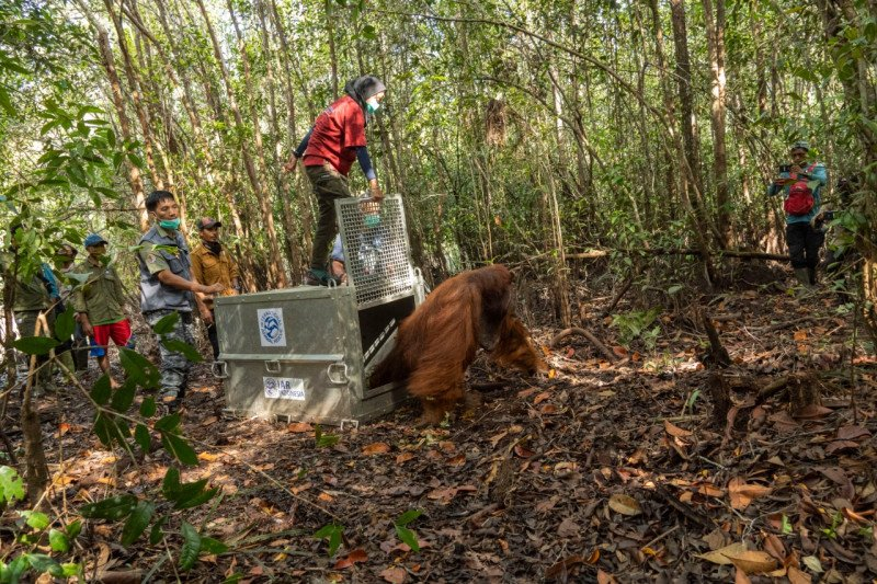 Tim gabungan selamatkan satu orangutan jantan di Ketapang