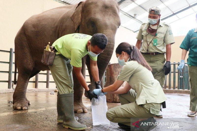 Khawatir virus, paru-paru Gajah Taman Safari Bogor diperiksa
