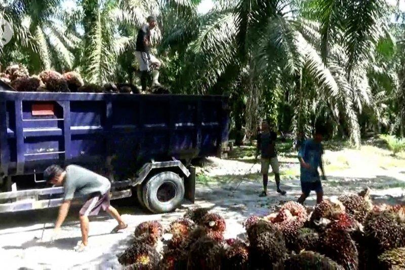Kontribusi positif sawit Riau di masa pandemi COVID-19
