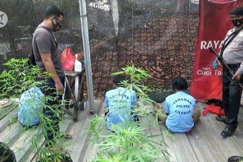 Polrestro Tangerang Kota ungkap ladang ganja di dalam perumahan