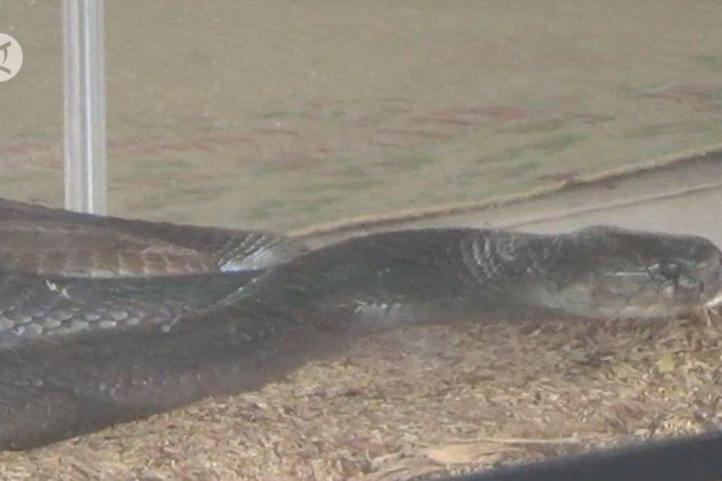 Penanganan serangan ular perlu dibekali keterampilan khusus