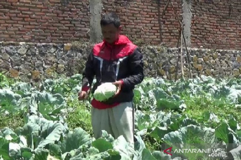 Tidak banyak hajatan, harga kubis anjlok dan petani merugi