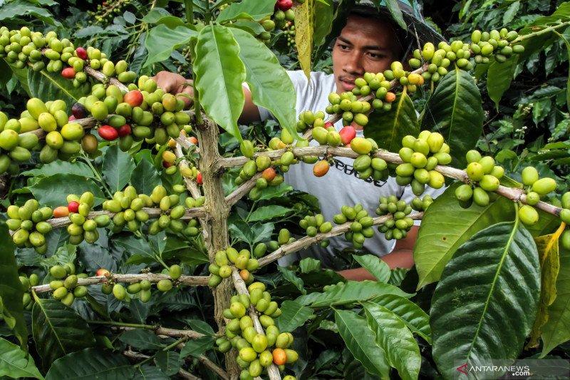 Hari Tani, produktivitas kopi diharapkan bisa bersaing di global