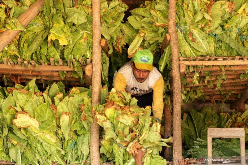 APTI sebut kenaikan tarif cukai semakin beratkan petani tembakau
