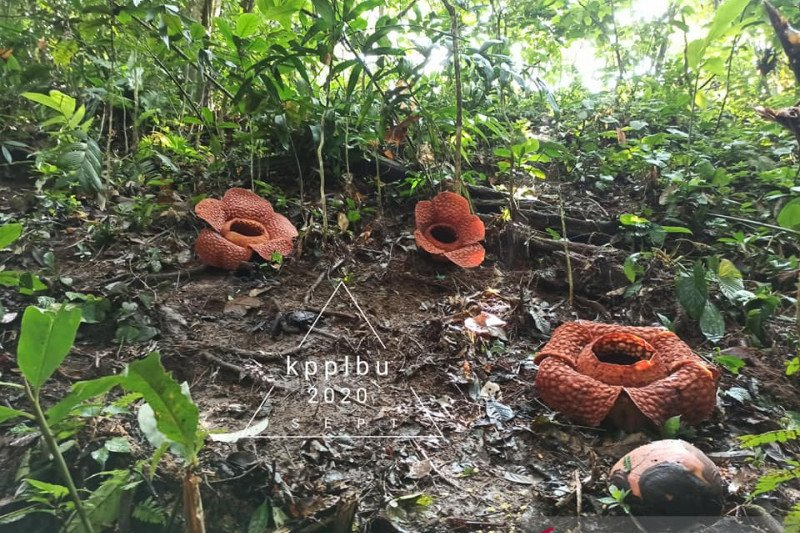 Tiga bunga Rafflesia kemumu mekar di Bengkulu Utara