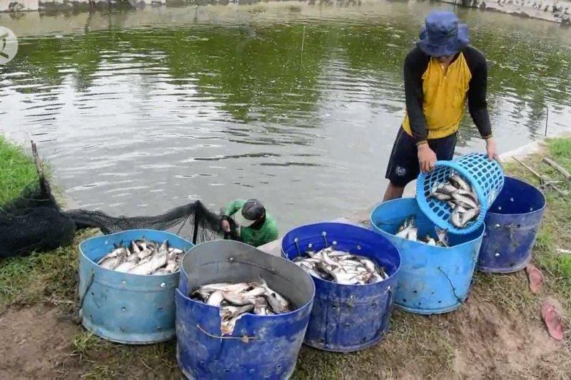 Riau kembangkan budidaya ikan air tawar di masa pandemi