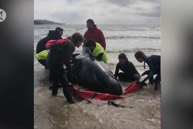 Upaya penyelamatan 270 paus pilot yang terdampar di Australia