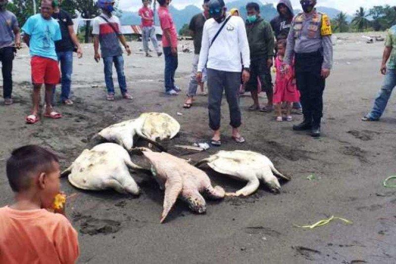 Polisi: Warga di Mamuju bantai penyu karena makan rumput laut