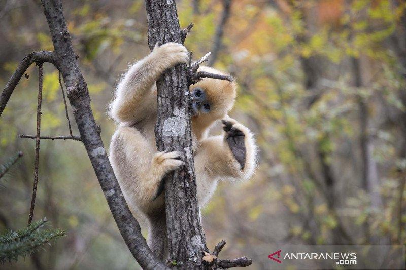 Populasi monyet emas meningkat seiring perbaikan lingkungan