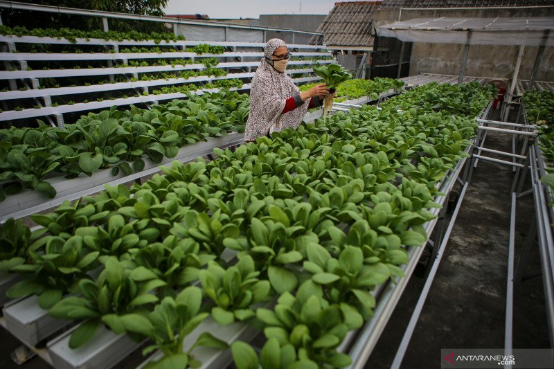 Budi daya sayuran hidroponik di atap rumah