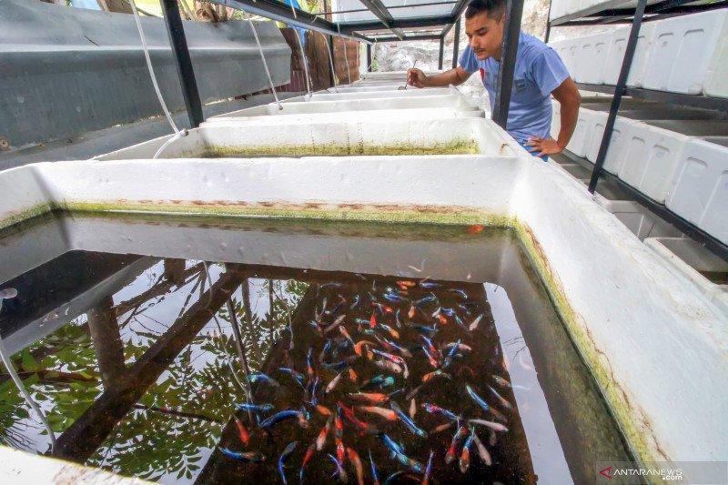 Budidaya ikan cupang multi colour kualitas ekspor