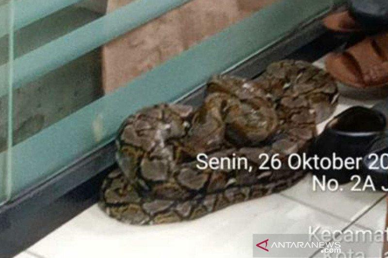 Damkar evakuasi ular sanca yang hebohkan ASN di Kelurahan Gondangdia