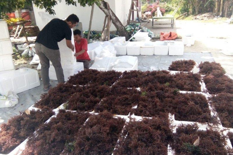KKP distribusikan 2,5 ton bibit rumput laut ke Karimunjawa