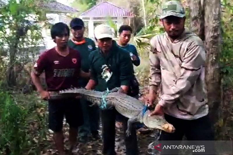 BKSDA Sultra evakuasi buaya temuan warga Bombana ke Taman Nasional