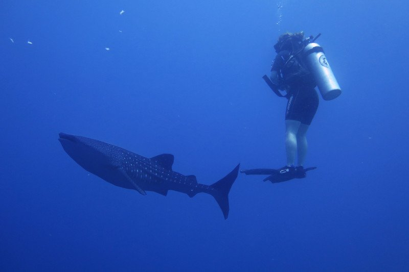 Gubernur promosikan wisata hiu paus Gorontalo di sumatera