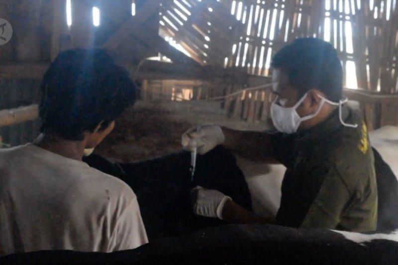 Cegah Brucellosis, Pemkot Pekalongan vaksinasi sapi perah