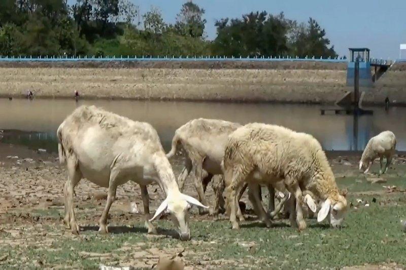 Embung mengering, petani di Magetan beralih bisnis ternak