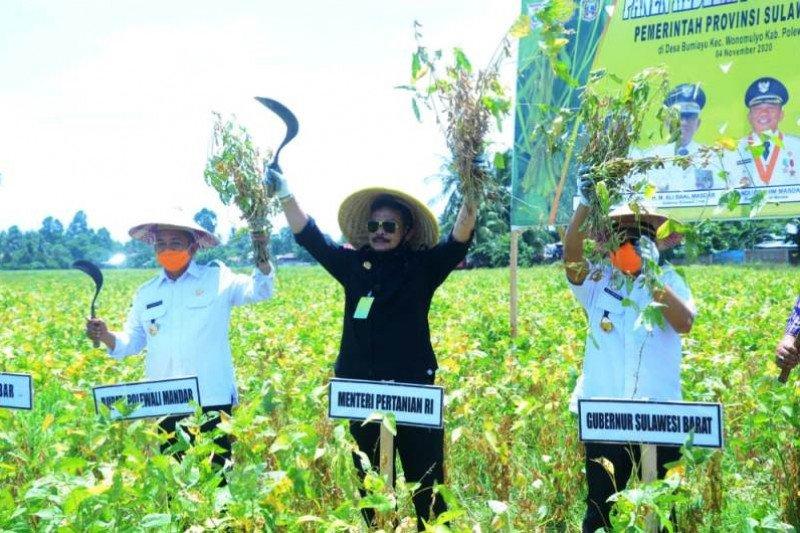 Menteri Pertanian hadiri panen raya kedelai di Polewali Mandar
