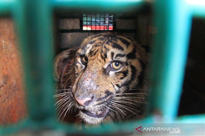 Pelepasliaran harimau sumatera di Kawasan Ekosistem Leuser Aceh