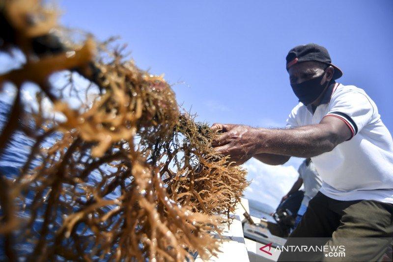 Harga rumput laut anjlok karena hama bulu kucing