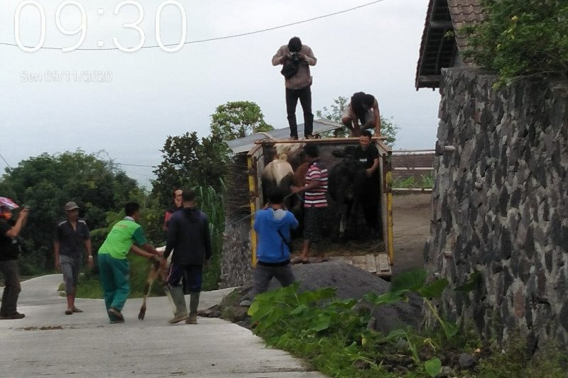 Ratusan ternak di daerah rawan erupsi Merapi Sleman belum diungsikan