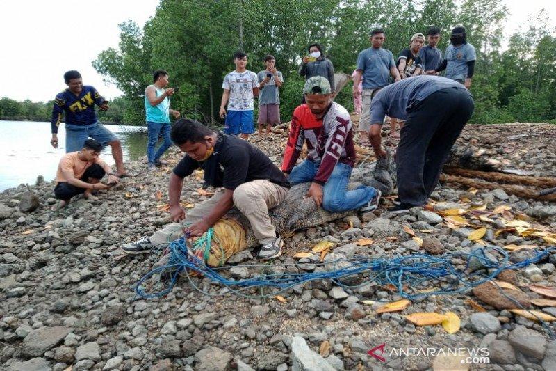 BKSDA Sultra lepas liarkan buaya temuan warga ke Taman Nasional