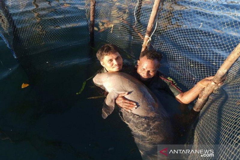 BKSDA Sultra evakuasi ikan duyung temuan warga Konawe Kepulauan