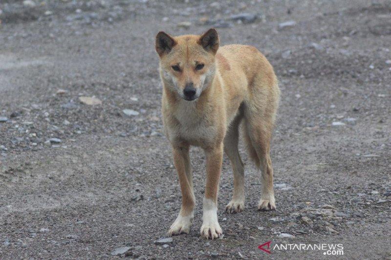 Freeport dukung Uncen teliti 'anjing bernyanyi' pegunungan Papua
