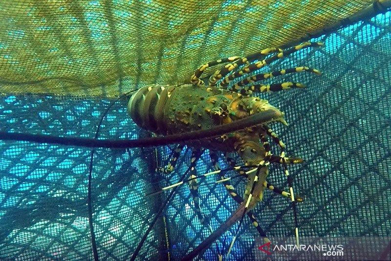 Respons kasus lobster, KKP perlu lebih perhatikan warga rentan pesisir