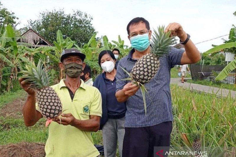 Nanas madu asal Subang dikembangkan di Denpasar
