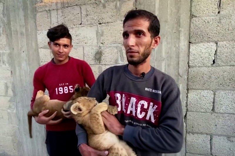 Seorang Palestina memelihara dua anak singa di atap rumahnya