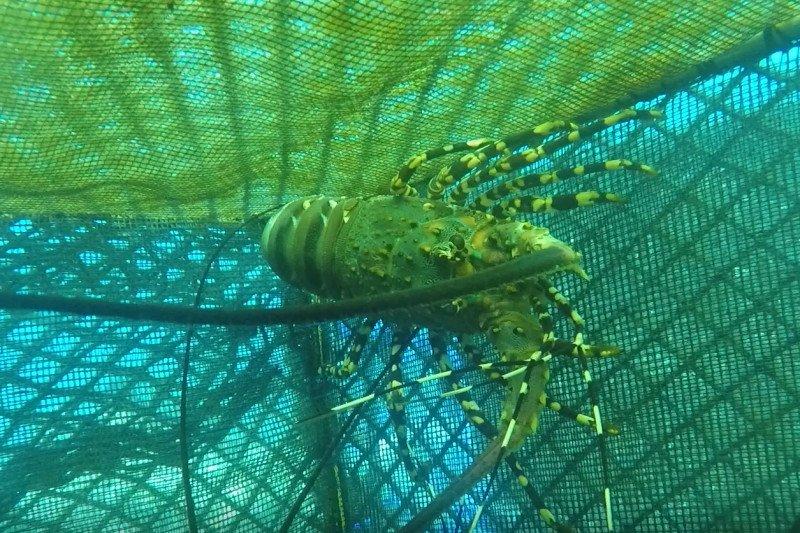 Peringatan yang diabaikan dari kontroversi ekspor benih lobster