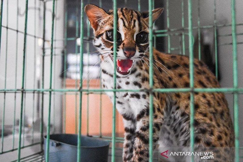 BBKSDA Riau sita kucing hutan dan musang dari tempat hiburan