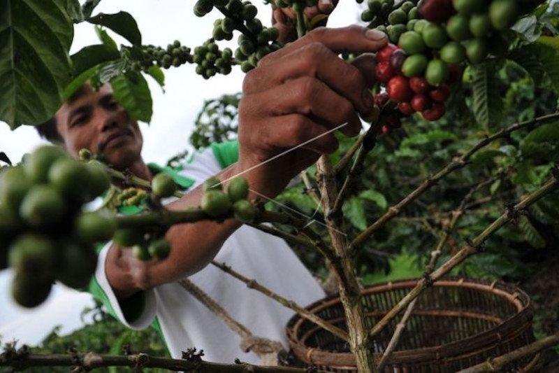 Petani keluhkan harga jual kopi di Ogan Komering Ulu rendah
