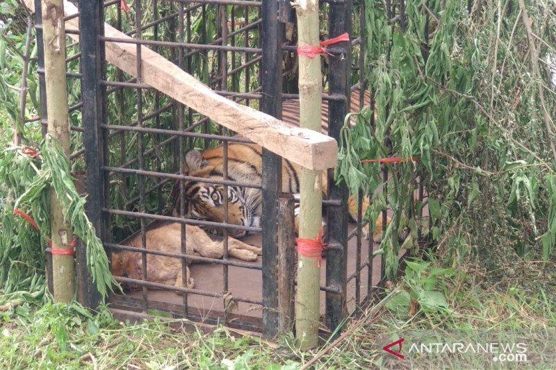 Diamankan BKSDA, dua harimau berkeliaran di permukiman warga Solok