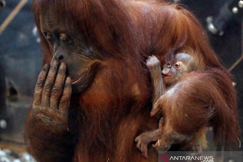 Orangutan yang terancam punah lahir di KB New Orleans