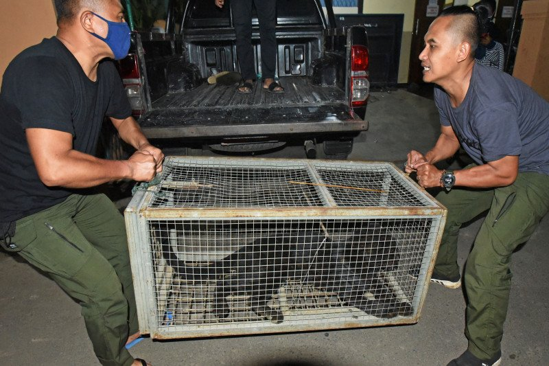 Macan tutul ditangkap karena masuk perkampungan