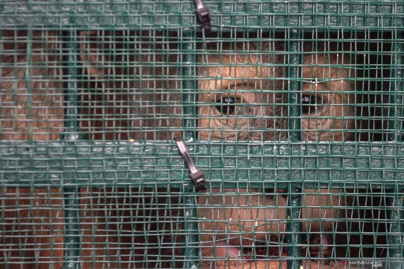 Orangutan yang dipulangkan dari Malaysia masih jalani rehabilitasi