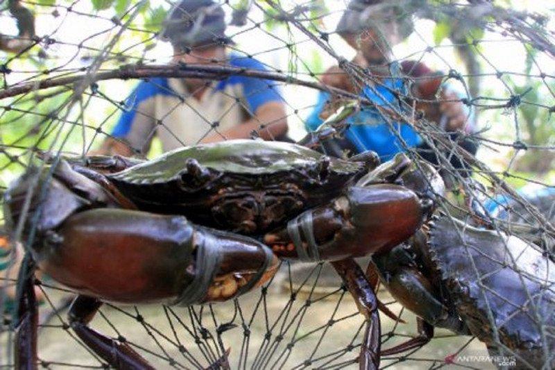 """Silvofishery"" memelihara kepiting sambil menjaga mangrove (Bagian-2)"