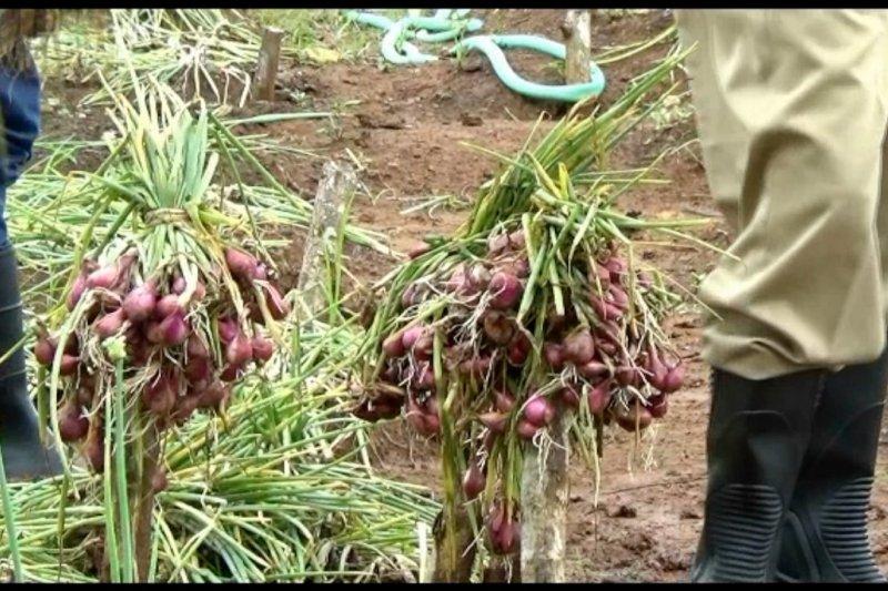 Manfaatkan teknologi panen air, petani bawang merah Nawungan panen sepanjang tahun