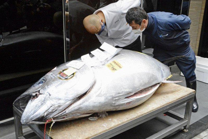Lelang tahun baru, ikan tuna terjual 2 miliar rupiah di Tokyo