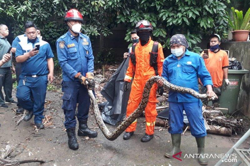 Dalam sehari, Damkar Jakbar evakuasi dua ular sanca di Kebon Jeruk