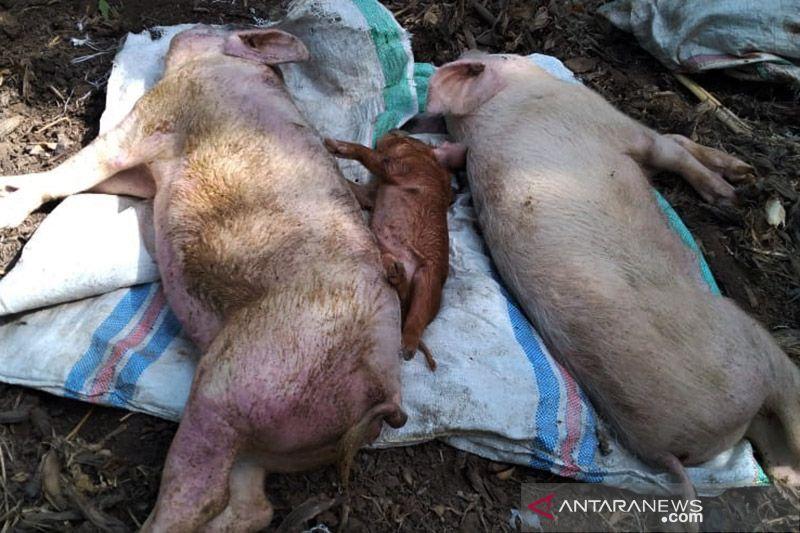 Hong Kong musnahkan 3.000 babi karena demam babi Afrika