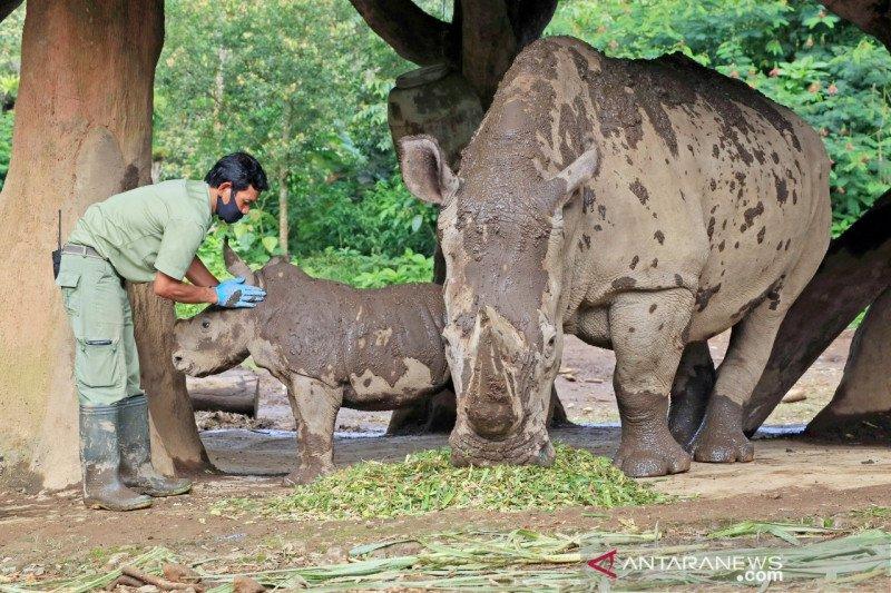 Terancam punah, koleksi badak putih di Taman Safari Bogor bertambah