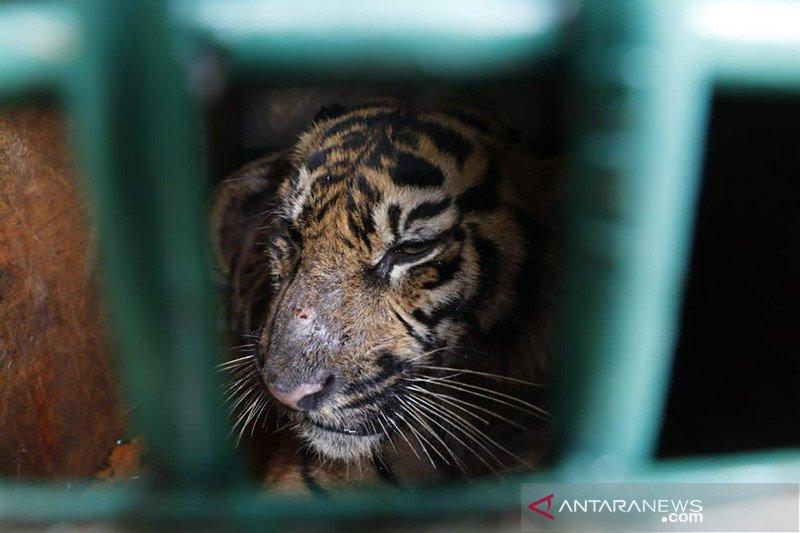 BKSDA: Harimau sumatra berkeliaran di perkebunan di Aceh Timur