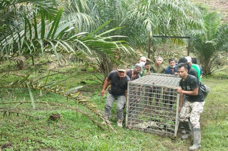 Tim BBKSDA Sumut temukan jejak harimau sumatra di Desa Bukit Mas