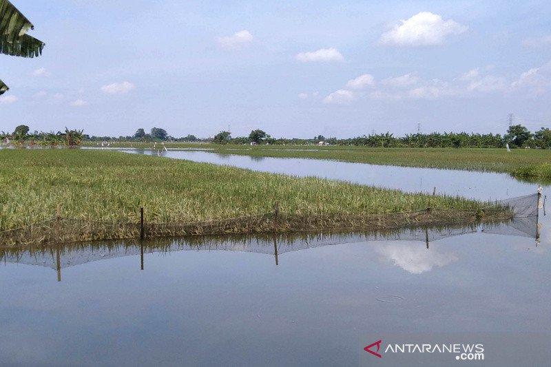 Tanaman padi terendam banjir,  petani di Kudus ajukan klaim asuransi