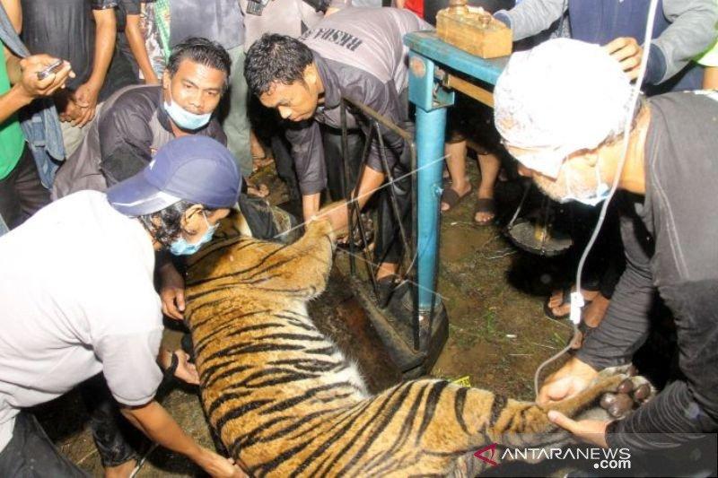 Seekor harimau sumatera terjerat perangkap babi di Aceh Tenggara